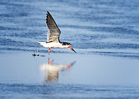 Black Skimmer landing in water with feet splashing