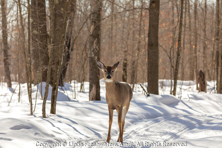 White-tailed doe walking on a snowmobile trail in northern Wisconsin.