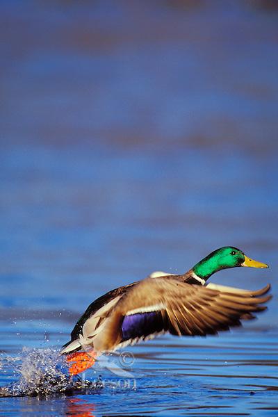 Mallard Duck drake (Anas platyrhynchos) lifting off pond.  Winter.  Pacific NW.