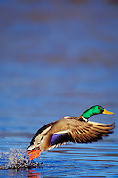 Mallard Duck drake (Anas platyrhynchos) lifting off pond.  Winter.  Pacific NW.
