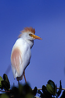 Cattle egret-breeding plumage, Oahu