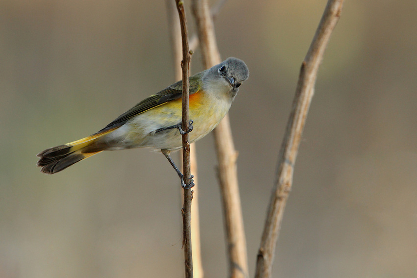 A boldly patterned warbler of second growth woods, the American Redstart frequently flashes its orange and black wings and tail to flush insect prey from foliage. First fall male seen here.