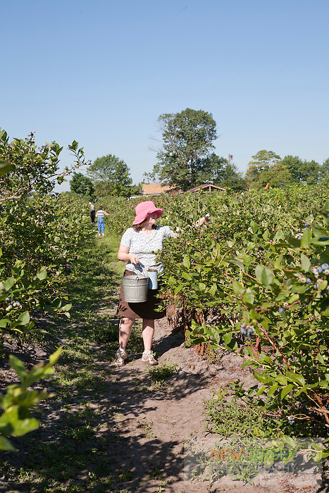 Picking blueberries, Wells Farm, New Jersey