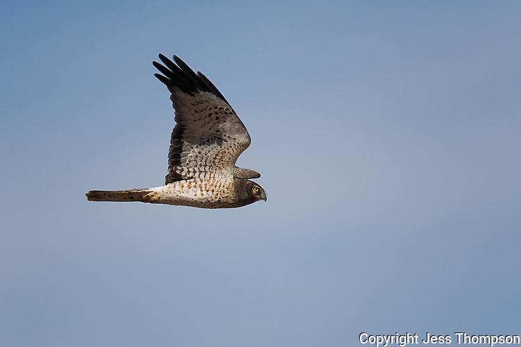 Northern Harrier, Bosque del Apache NWR, New Mexico