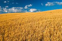 Mature Winter wheat crop<br /> <br /> Swan Lake<br /> Manitoba<br /> Canada