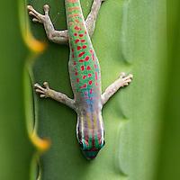 Mauritius reptiles