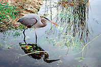 Ward?s heron, Ardea herodias wardi, .a rare subspecies of great blue heron, .Royal Palm, Everglades National Park, .Florida.