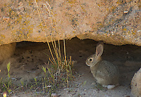 Desert cottontail, Silvilagus audubonii, Red Rock Canyon State Park, California