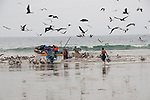 In Puerto Lopez Ecuador men carry the fish from a little fishing boat to a truck for further transport. The frigate birds try to get their share.