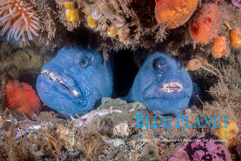 A pair of Atlantic Wolffish, Anarhichas lupus, at the entrance of their den. Eastport, Maine, USA, Atlantic Ocean
