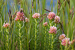 Rosecrown, Queenscrown, Sedum rodanthum, wildflower, at Lost Lake, back country, nature, summer, August, morning, Rocky Mountain National Park, Colorado, USA