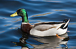 Male Mallard.Anas platyrhynchos.at the Sepulveda Wildlife Area in.Los Angeles, Ca. February 14, 2007. © Fitzroy Barrett.