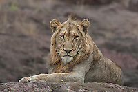 Young male lion at rest