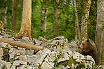 Brown Bear male (Ursus arctos), Slovenia