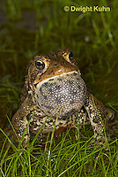 FR11-535z  American Toad Male singing for mate, Bufo americanus or Anaxyrus americanus