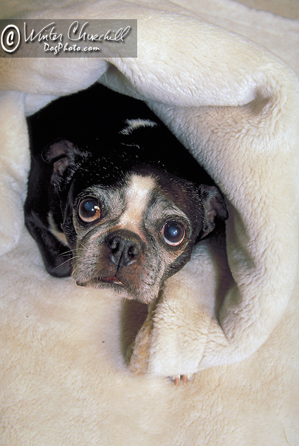 Black / white French Bulldog wrapped in a white blanket