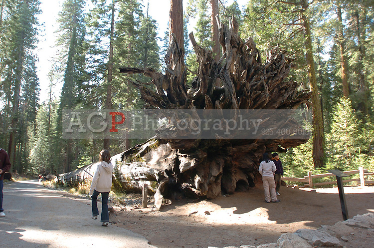 Children play near a giant fallen Sequoia tree in Mariposa Grove at Yosemite National Park in California November 24, 2008. Mariposa Grove is a sequoia grove located near Wawona, California in the southernmost part of Yosemite National Park. It is the largest grove of Giant Sequoias in the park, with several hundred mature examples of the tree. Two of its trees are among the Twenty Five largest Giant Sequoias in the world. The Mariposa Grove was first visited by non-natives in 1857 when Galen Clark and Milton Mann found it. They named the grove after Mariposa County, California, where the grove resides [1]. (Photo Copyright Alan Greth)(Photo Copyright Alan Greth)