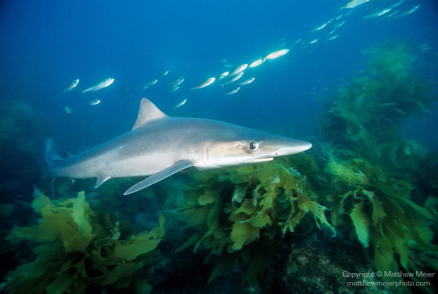 San Clemente Island, Channel Islands, California; Soupfin Shark (Galeorhinus galeus), Eastern Pacific Ocean, also known as Tope, temperate oceans worldwide, fished commercially and used in sharkfin soup , Copyright © Matthew Meier, matthewmeierphoto.com All Rights Reserved