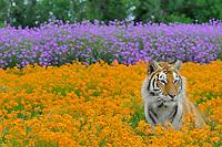 Bengal Tiger (Panthera tigris), Endangered Species