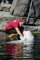A marine mammal researcher works with a Beluga Whale (Delphinapterus leucas) Vancouver Aquarium in Vancouver,Canada. (do) (no MR)