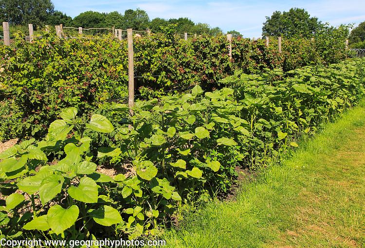 Sunflower and blackberry plants growing in vegetable garden, Sissinghurst castle gardens, Kent, England, UK