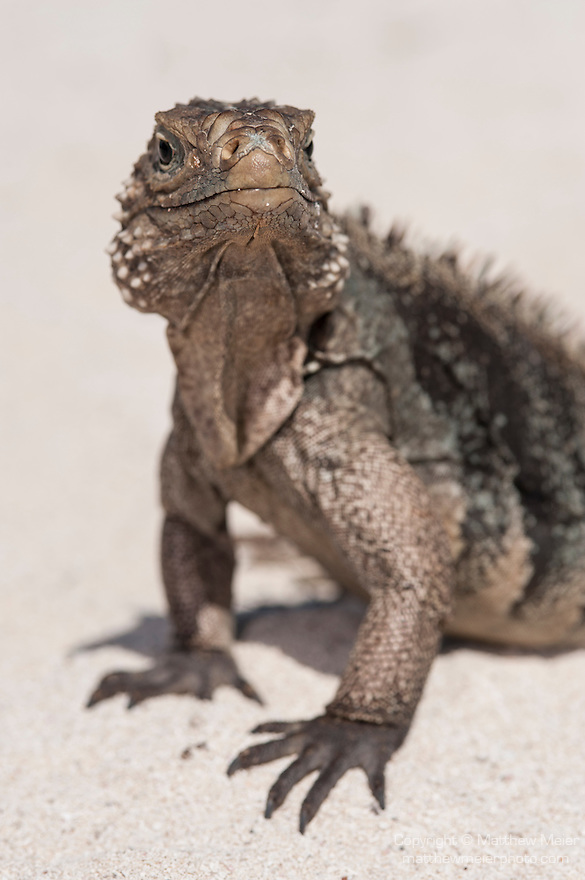 Gardens of the Queen, Cuba; a Cuban Iguana resting on a sandy beach during a sunny afternoon