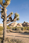 Joshua Tree National Park, California; Joshua Trees (Yucca brevifolia) in front of rock formations