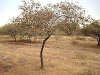Dry Gir forest