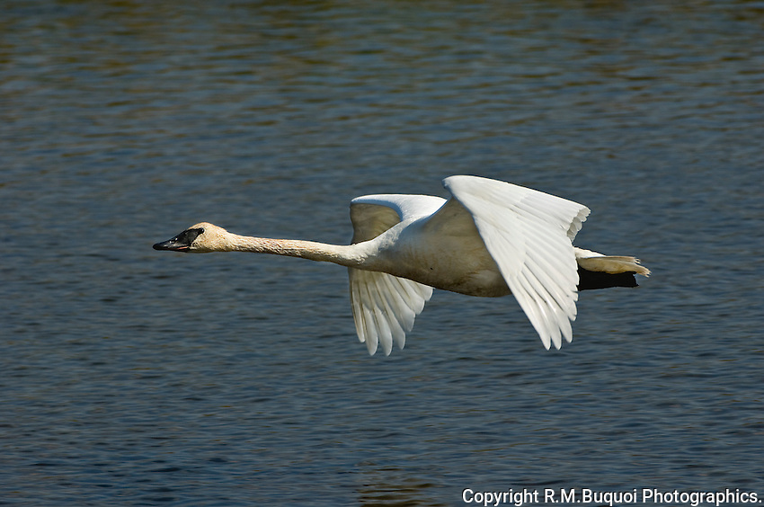 Trumpeter Swan in flight, Jackson Hole, Wyoming