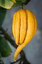 Citrus medica var. sarcodactylis, Isole di Brissago Botanic Garden, Ticino, Switzerland, late October.