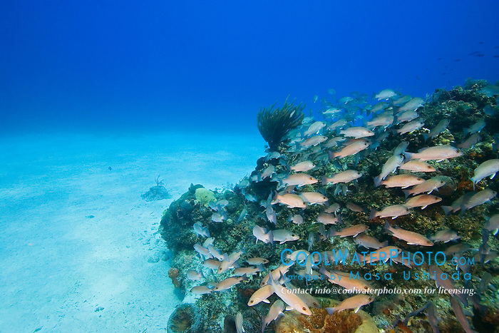 Schooling Gray Snappers, Lutjanus griseus, over coral reef, West End, Grand Bahamas, Atlantic Ocean