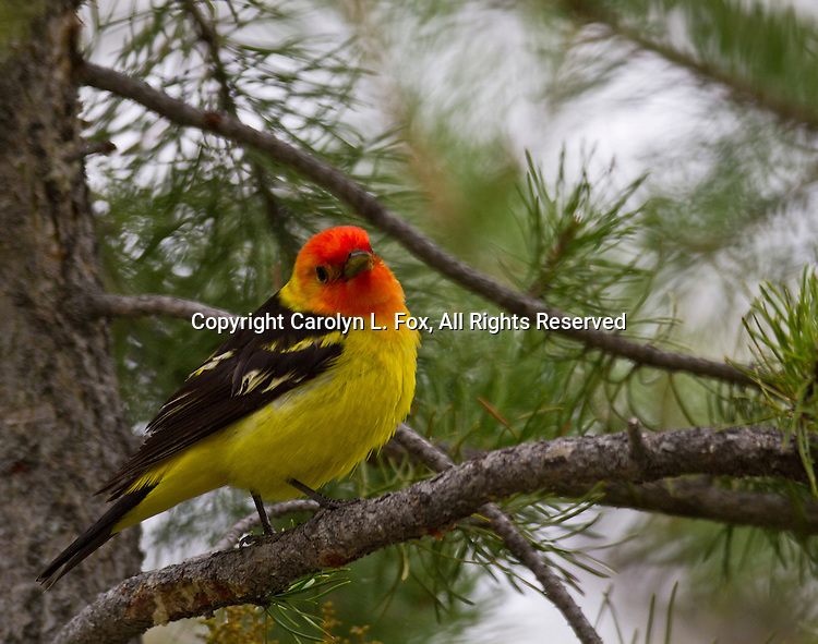A yellow bird, with black wings and a red head, sits in a tree in Yellowstone National Park