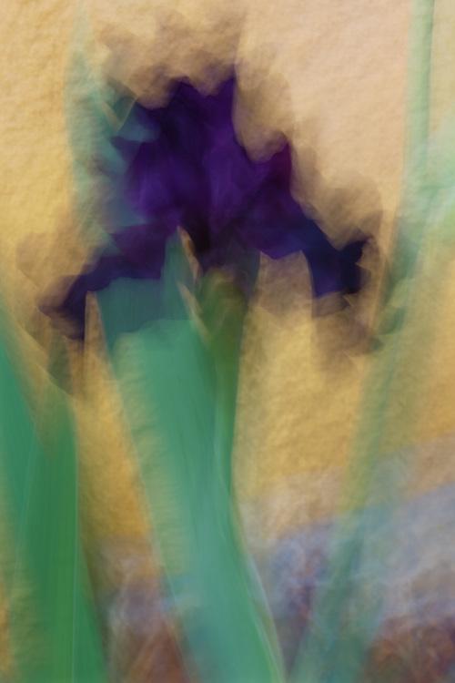Iris Impression #4