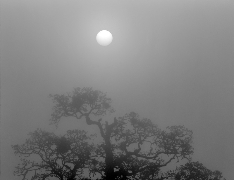 Oak tree with fog and sunrise. Finley Wildlife Refuge, Oregon.