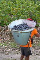 Harvest workers picking grapes. Carrying grapes in a basket. Chateau Margaux, Bordeaux, France
