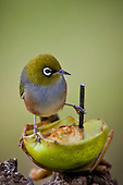 Silvereye feeding on an apple. .Silvereye's (Zosterops lateralis) also known as Wax eye's or White eyes are a small passerine that is native to New Zealand and Australia and can be found in most settled habitat. They feed on insects, nectar, fruit and berries and are more noticeable in flocks during the winter months. They are easily attracted to feeding stations where sugar water and fruit are available and can be quite aggressive towards each other with displays of wing fluttering and beak clattering. Their origin in New Zealand isn't clear as they were only first observed here in 1832 and could have been swept eastward from Australia by storm or possibily followed a ship across the Tasman Sea. Their Maori name Tauhou (Little Stranger) reflects their recent arrival.