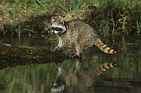 Raccoon hunting for food along wetland area.  Pacific Northwest.