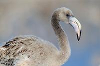American Flamingo (Phoenicopterus ruber) chick . Rio Lagartos Biosphere Reserve, Mexico. July.