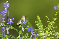 01162-15202 Ruby-throated Hummingbird (Archilochus colubris) at Blue Ensign Salvia (Salvia guaranitica ' Blue Ensign') in Marion County, IL