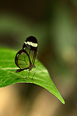 An exquisite little Thick-tipped Greta perched on a graceful green leaf against a multi-beige and green background.