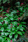 Red clintonia