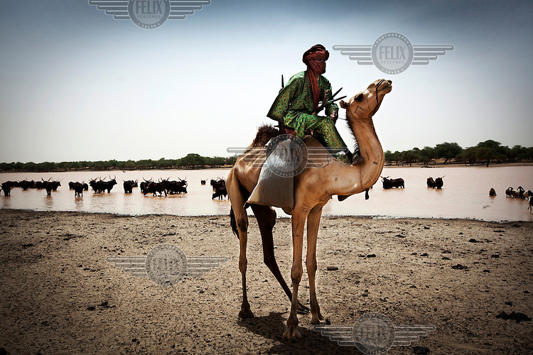 A Peul shepherd arrives on his camel at a watering hole caused by heavy rain, as cattle also enter the lake.