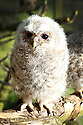 14/05/2012..One of the owlets rescued from inside a fallen tree...A spring of drought, gales and flooding has taken its toll on our wildlife. An animal rescue centre has taken in so many wild animals and birds  including nine young tawny owls  that it is considering closing its doors to new admissions...For full story please copy and paste this link into your browser: .http://www.fstoppress.com/articles/owls/..Caragh Hunter, 22, from HART Wildlife Rescue said: Were nearly full-up, the weird spring weather is definitely to blame. When it was hot a few weeks ago we had hedgehogs being brought to us that were dehydrated  weve got sixteen of them in now...The rain caused its own problems too  we had a badger cub come in after its sett was flooded and were swamped with ducklings rescued from fast flowing rivers...Weve never had so many owlets  more in the last few weeks than we had all last year. Two were found inside a fallen tree  theyd been nesting in its hollow trunk. The others were found after being blown from trees. Theyre all between four and eight weeks old  one was saved after a crow was attacking it on the ground....All Rights Reserved - F Stop Press.  www.fstoppress.com. Tel: +44 (0)1335 300098.Copyrighted Image. Fees charged will reflect previously agreed terms or space rates for individual publications, states or country.