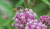 Common Aerial Yellowjacket; Dolichovespula arenaria; pollinating Swamp Milkweed; Asclepias incarnata; PA, French Creek State Park;