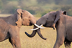 Elephant pals in a constant tusk-le by Phillip Chang