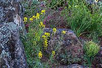 Erysimum capitatum var. capitatum -  Western Wallflower flowering in California native plant garden, Regional Parks Botanic Garden, Berkeley, California