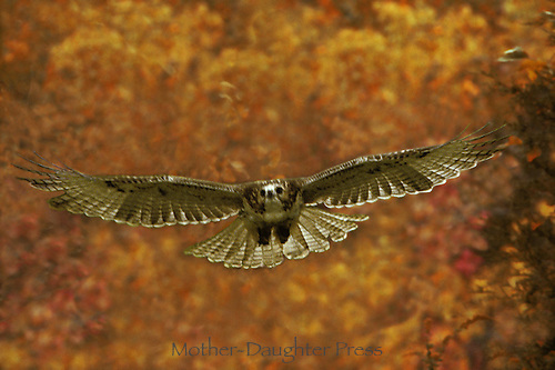 Red tail hawk flies while hunting with a background of autumn leaves, Missouri USA