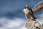 La Jolla, California; an adult male Peregrine Falcon (Falco peregrinus)  vocalizes while resting on a tree stump along the rocky cliff on a sunny afternoon with the Pacific Ocean in the background