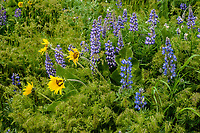 Arrowleaf Balsamroot and Lupine