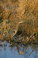 Great blue heron (Ardea herodias) reflecting in pond.